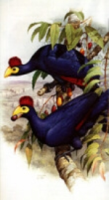 Cooper : Turacos : A Portfolio of All Species