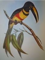 Gould : Monograph of the Toucans :