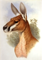 Gould : Mammals of Australia : Volume II - The Kangaroos & Wallabies