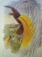 Gould : Birds of New Guinea : Volume I - Crows and Birds of Paradise